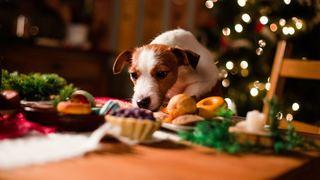 Disse matvarene er giftige for hunden og katten din